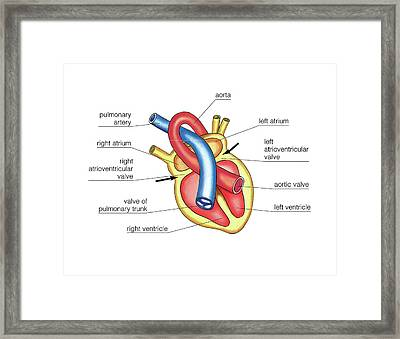 Schema Of Systole And Diastole Framed Print by Asklepios Medical Atlas