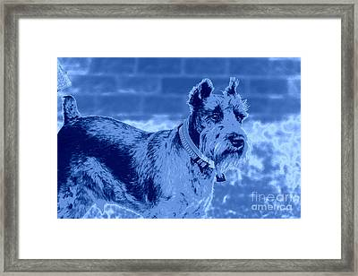 Schnauzer Framed Print by Mickey Harkins