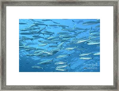 School Of Bogue Fishes Framed Print by Sami Sarkis