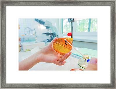 Scientist Holding A Petri Dish Framed Print by Wladimir Bulgar
