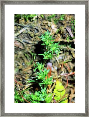 Scleranthus Annuus Annuus Framed Print by Bruno Petriglia/science Photo Library