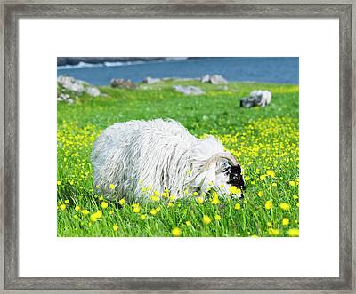 Scottish Blackface On The Isle Framed Print by Martin Zwick