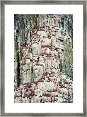 Sea Bird Nesting Cliffs At Aalkefjellet Framed Print