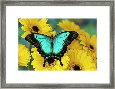 Sea Green Swallowtail Butterfly Framed Print