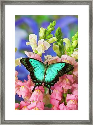 Sea Green Swallowtail Butterfly, Papilio Framed Print by Darrell Gulin
