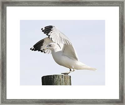 Sea Gull Framed Print by Paulette Thomas