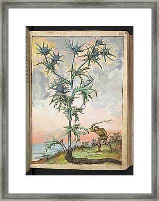 Sea Holly (eryngium Sp.) Framed Print