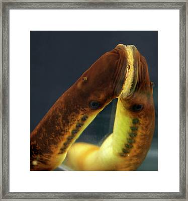 Sea Lamprey Mouth Framed Print