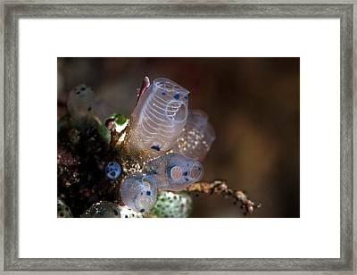 Sea Squirts Framed Print