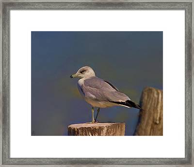 Seagull Framed Print by Hazel Billingsley