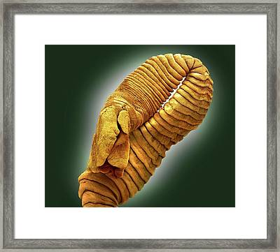Seal Tapeworm Framed Print by Steve Gschmeissner