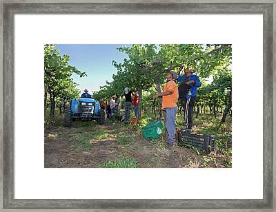 Seasonal Workers Harvesting Grapes Framed Print
