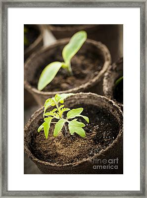 Seedlings  Framed Print by Elena Elisseeva