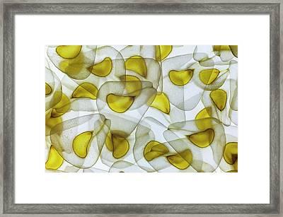 Seeds Of Cardiocrinum Giganteum Framed Print by Dr Jeremy Burgess