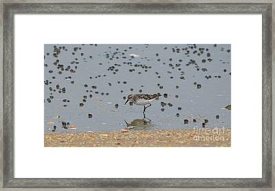 Semipalmated Sandpiper Framed Print by James Petersen