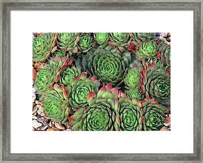 Sempervivum 'rubra Ray' Framed Print by Anthony Cooper/science Photo Library