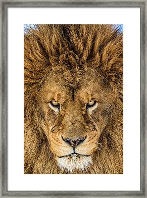 Serious Lion Framed Print by Mike Centioli