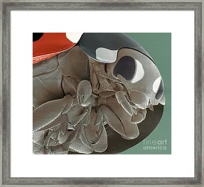 Seven-spot Ladybird Sem Framed Print by Steve Gschmeissner