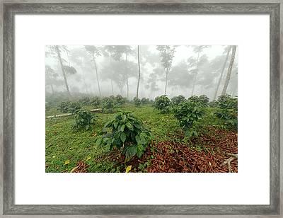 Shade-grown Coffee Plantation Framed Print