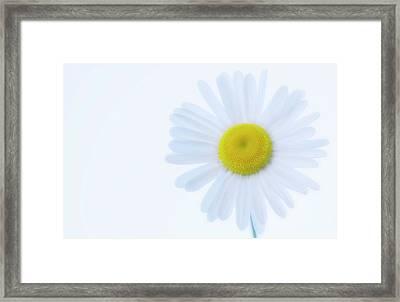 Shasta Daisy (leucanthemum X Superbum) Framed Print by Maria Mosolova/science Photo Library