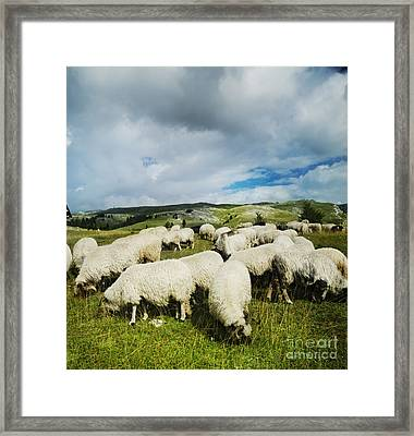 Sheep In The Field Framed Print by Jelena Jovanovic