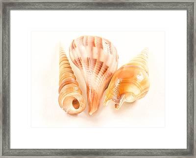 Shell Trio Framed Print