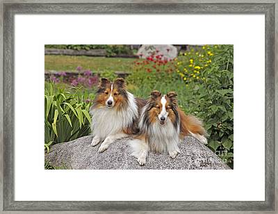 Shetland Sheepdogs Framed Print by Rolf Kopfle