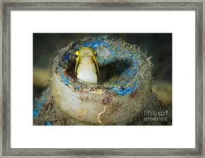 Short-head Sabretooth Blenny Peering Framed Print by Steve Jones