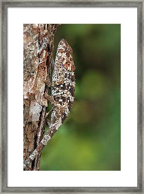 Short-horned Chameleon Framed Print by Alex Hyde
