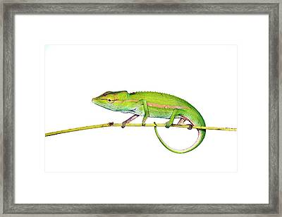 Short-nosed Chameleon Framed Print by Alex Hyde