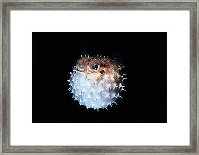 Short-spined Porcupinefish Framed Print by Jeff Rotman