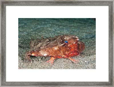 Shortnose Batfish Framed Print by Andrew J. Martinez