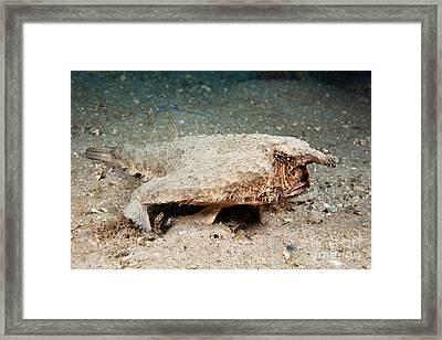 Shortnose Batfish Framed Print by David Fleetham