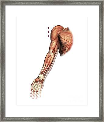 Shoulder And Arm Movement, Artwork Framed Print by D & L Graphics