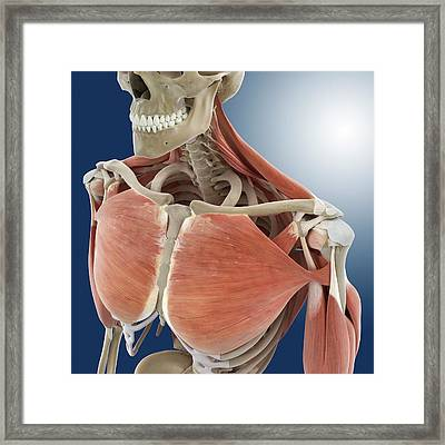 Shoulder And Chest Anatomy Framed Print