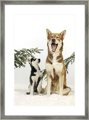 Siberian Husky And Puppy Framed Print by John Daniels