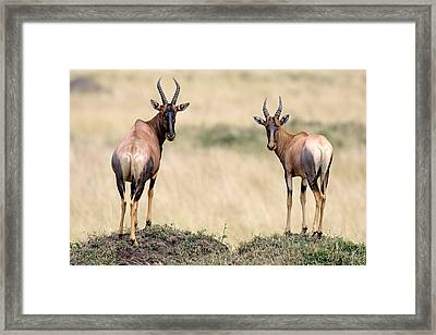 Side Profile Of A Topi Standing Framed Print by Panoramic Images