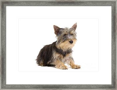 Silky Terrier Puppy Dog Framed Print by Jean-Michel Labat