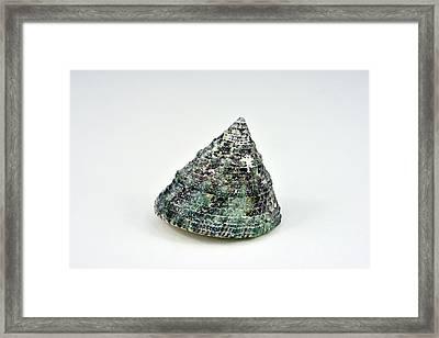 Singel Seashell Framed Print