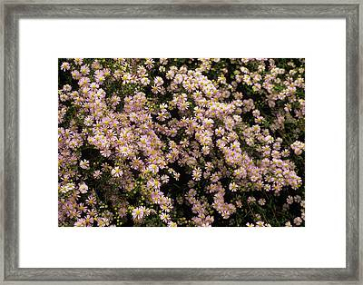 Sky Blue Aster Flowers Framed Print by Anthony Cooper/science Photo Library