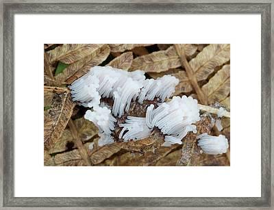 Slime Mould Framed Print