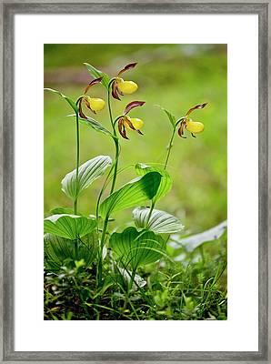 Slipper Orchid (cypripedium Calceolus) Framed Print