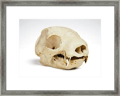 Sloth Skull Framed Print by Ucl, Grant Museum Of Zoology