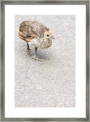 Small Baby Peacock Roaming On Pavement Framed Print by Jorgo Photography - Wall Art Gallery