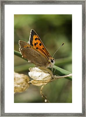 Small Copper Butterfly Framed Print