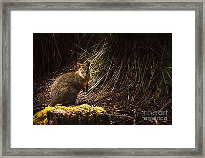Small Marsupial Pademelon In Thick Tasmania Forest Framed Print by Jorgo Photography - Wall Art Gallery