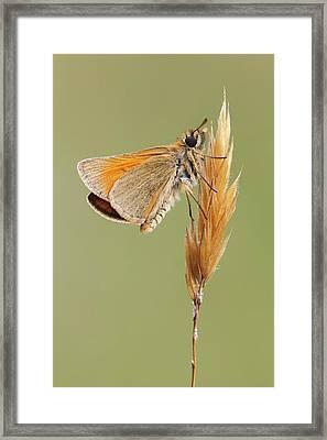 Small Skipper Butterfly Framed Print