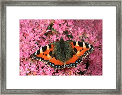 Small Tortoiseshell Butterfly Framed Print by Nigel Downer