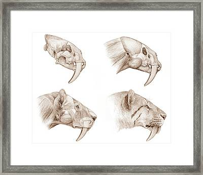 Smilodon Sabre-toothed Cat Framed Print by Mauricio Anton