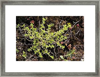 Smooth Rupturewort Herniaria Glabra Framed Print by Bob Gibbons